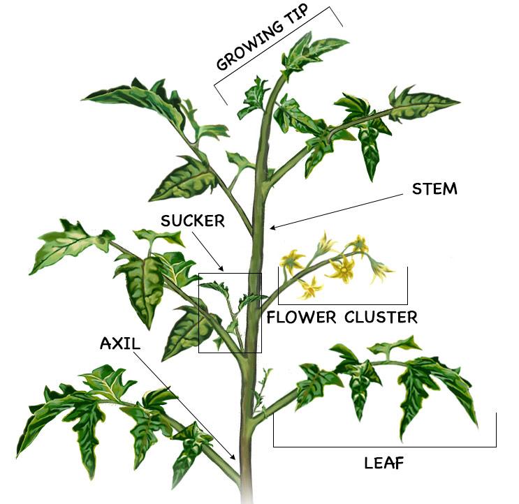 Tomato Pruning Diagram